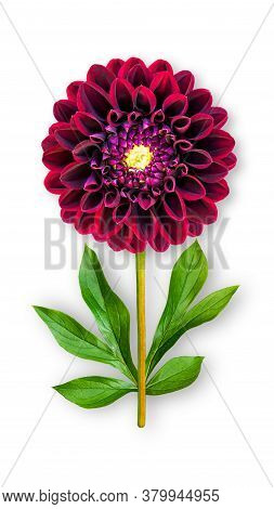 Offbeat Dahlia Flower. Composition Of Burgundy Dahlia With Peony Leaves. Art Object On A White Backg
