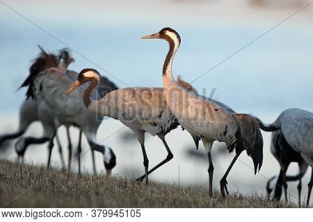 The Common Crane (grus Grus), Also Known As The Eurasian Crane, A Flock Of Cranes At The Lake. A Flo