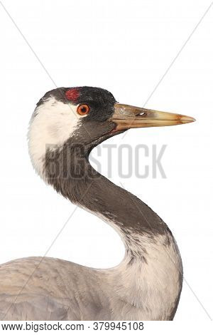 The Common Crane (grus Grus), Also Known As The Eurasian Crane, Isolated Portrait. Portrait Of A Cra