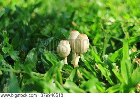 Mane Three Of White Oval Shape Shaggy Mane Mushrooms Growing On The Backyard's Lawn