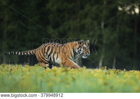 Tiger In Blooms. Flowered Meadow With Tiger. Siberian Tiger In Beautiful Habitat.panthera Tigris Alt