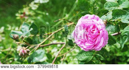 Pink Rose Flower Surrounded By Green Leaves And Buds In Local Garden Under Bright Sunlight On Summer