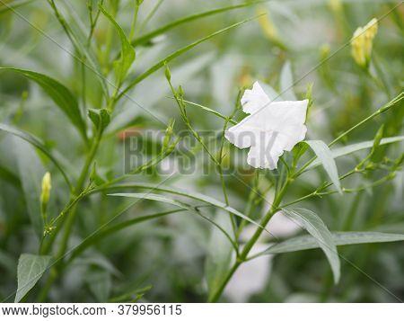 Ruellia Tuberosa Waterkanon, Iron Root Feverroot, Popping Pod Cracker Plant White Flower Blooming In