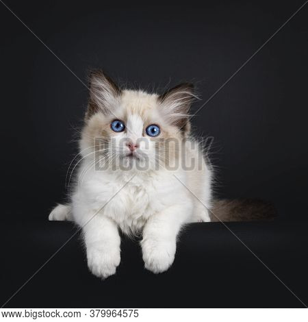 Impressive Seal Bicolor Ragdoll Cat Kitten, Laying Down With Front Paws Hanging Over Edge. Looking A