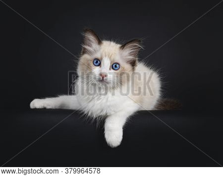 Impressive Seal Bicolor Ragdoll Cat Kitten, Laying Down With Front Paw Hanging Over Edge. Looking At