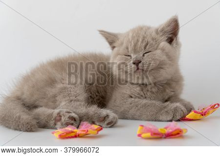 British Shorthair Cat. Cute Little Kitten Is Lying And Sleeping. Cat Smoky Colour. 08 August, World
