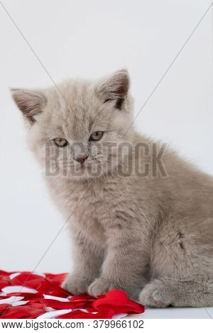 British Shorthair Cat. Cat Smoky Colour. 08 August, World Cat Day. Small Cute Kitten Is Sitting Next