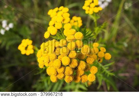 Yellow Tansy Flowers. Tanacetum Vulgare, Common Tansy, Bitter Button, Cow Bitter, Or Golden Buttons.