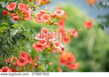 Trumpet creeper (Campsis radicans) blooming on the street of Thassos Island