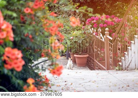 Greek specific - Cat sitting on picturesque narrow street withbougainvillea flowers