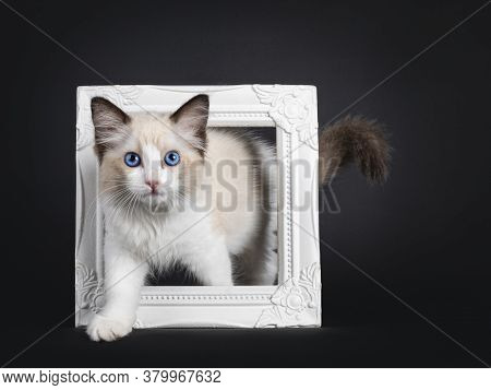 Impressive Seal Bicolor Ragdoll Cat Kitten, Stepping Through Photo Frame. Looking At Camera With Mes