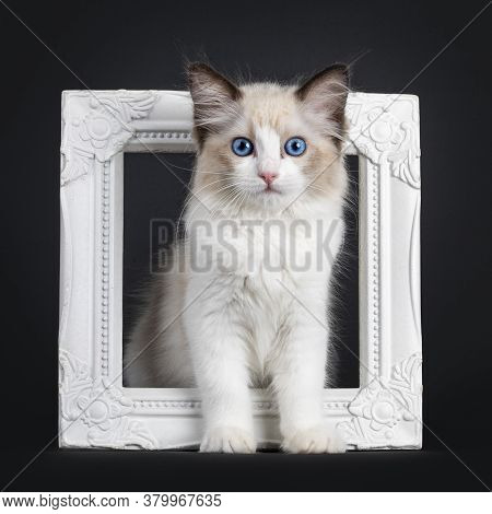 Impressive Seal Bicolor Ragdoll Cat Kitten, Standing Through Photo Frame. Looking At Camera With Mes