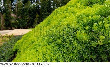 Fresh Greenery Foliage Of Needle-like Leaves Of Sedum Angelina Plant Or Stonecrop Ground Cover Plant