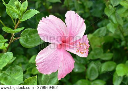 Hibiscus Pink Flower Or Chinese Rose Blooming On Branch In Garden At Sommer Day