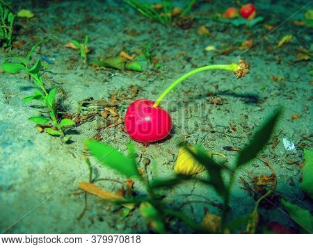 One Fallen Ripe Cherry Lies On The Ground. Cherry And Leaves Scattered On The Ground. Fallen Green A