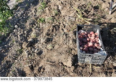 From Above Crate Full Of Freshly Harvested Organic Potatoes At A Local Farm