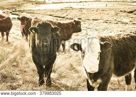 Highland Cattle Calf, Scottish Highlands Calves On A Field