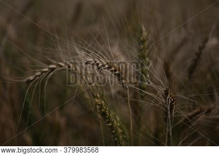 Close Up Of Stalks Of Wheat In A Field