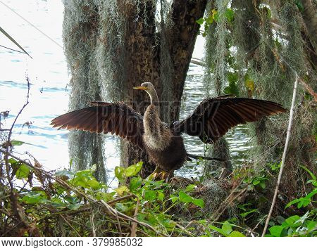 Female Ahninga Drying Her Wings In The Florida Wetlands