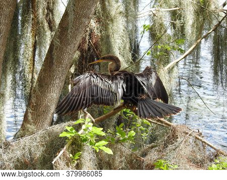 Female Anhinga Perched In The Spanish Moss