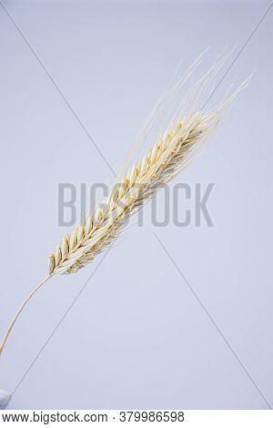 Yellow Ears Of Rye On A White Background. Ripening Prickly Ears Of Rye.