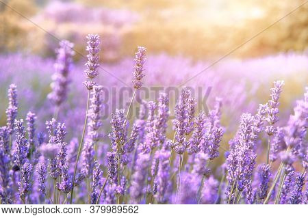 Mountain Lavender Field On Hvar Island In Croatia In Sun Flare