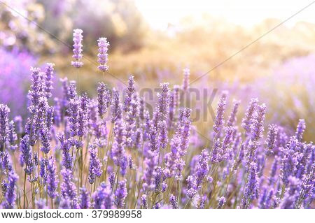 Mountain Lavender On Hvar Island In Croatia In Sun Flare