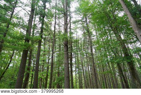 Landscape View Of The Pine Tree Forest