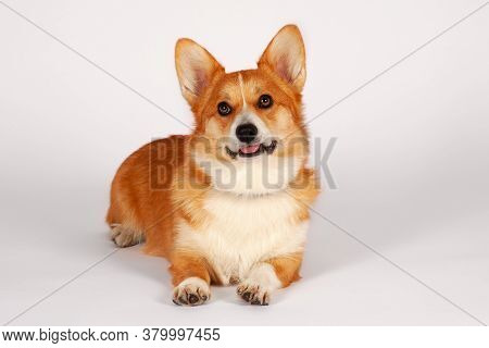 Cute Welsh Corgi Pembroke Dog Lying On Empty Background, Looking Up. Pretty Ginger And White Color,