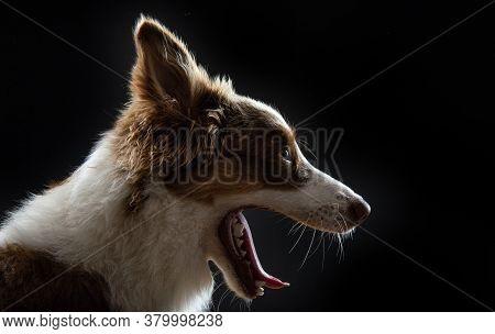 Australian Shepherd Dog Photographed On Black Background