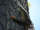 Lace Monitor (Goanna) sunning itself on the side of a tree poster