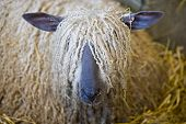 Close up of Sheep with wool covering eyes poster