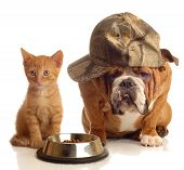 english bulldog and orange kitten sitting at food dish poster