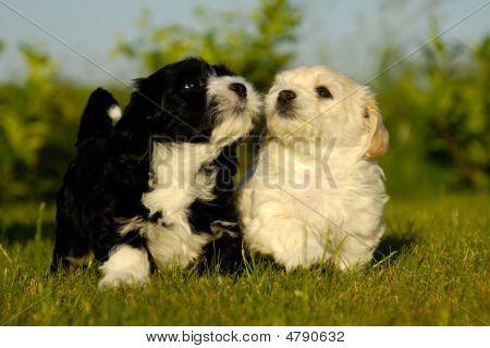 Schwarz und weiß-Welpen-Hunde