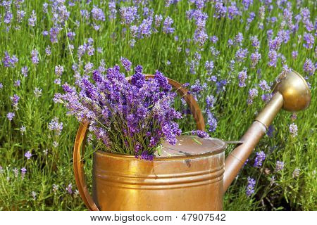 Lavender In A Copper Watering Can