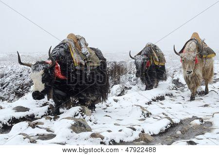 Yak Caravan Going From Everest Base Camp In Snowstorm, Nepal, Himalayas ,chomolungma Region