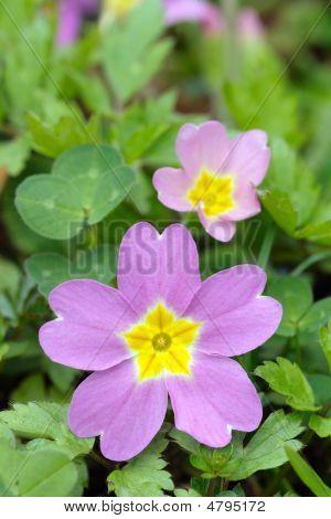 Magenta Primrose Flower And Bud (primula Vulgaris Subsp. sibthorpii)