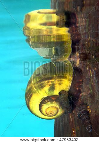 Freshwater Snail Near The Surface