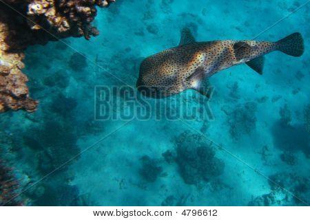 Spotfin Porcupine Fish