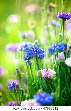 Cornflowers. Wild Blue Flowers Blooming. Closeup Image. Soft Focus