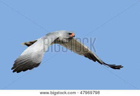Southern Pale Chanting Goshawk in flight - Melierax canorus - Kalahari Desert