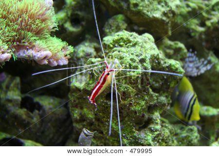 Cleaner Shrimp On Reef