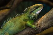 Thai Water Dragon or Green Water Dragon poster