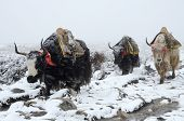 Yak caravan going from Everest Base Camp in snowstorm Nepal,Himalayas ,Chomolungma region poster