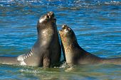 Elephant seal in the coast of Peninsula Valdes Patagonia Argentina. poster