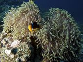 Magnificent Anemone and Red Sea Anemonefish, Egypt poster