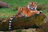 Siberian tiger cub laying on a tree in front of a green field poster