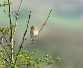 female chaffinch sitting on the branch of a hawthorn tree in spring. poster