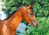 portrait of beautiful bay yuong arabian stallion poster