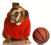 english bulldog wearing red sweatsuit with basketball poster